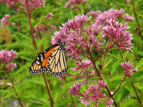 A Monarch butterfly frequents Joe Pye weed at the Aspetuck Wildflower Preserve. Pollinators visit many native plants like Joe Pye weed for pollen and nectar.