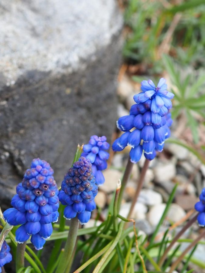 Grape hyacinth graces a rock at the New York Botanical Garden.